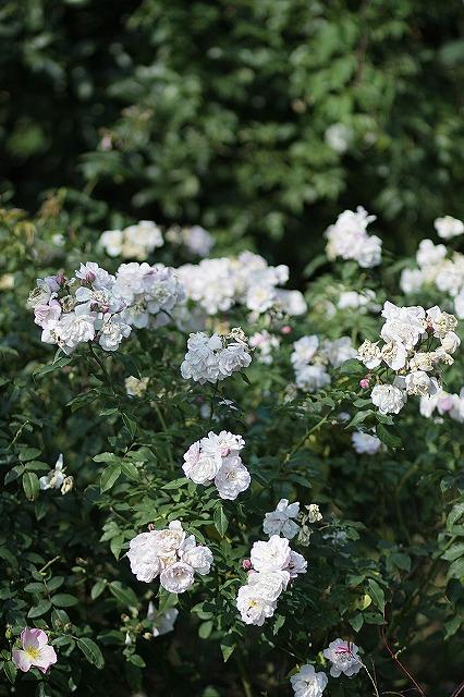 IMG_3218花菜ガーデン