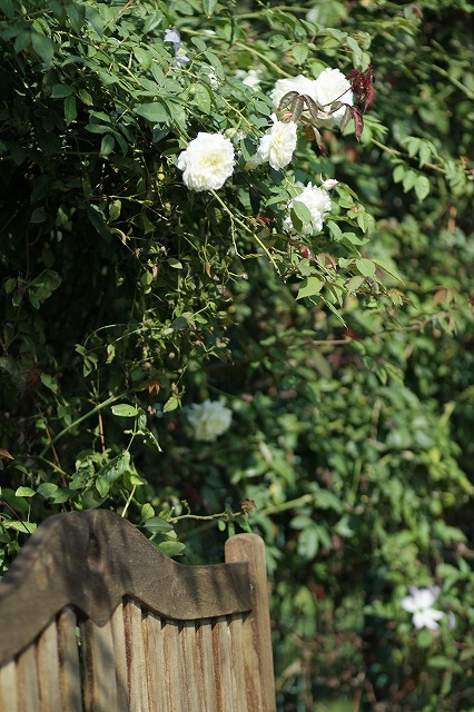 IMG_3223花菜ガーデン