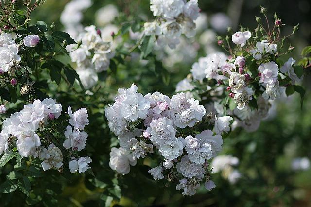 IMG_3229花菜ガーデン