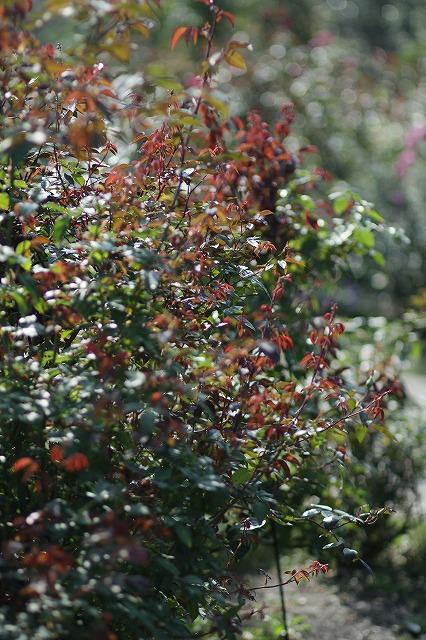 IMG_3235花菜ガーデン