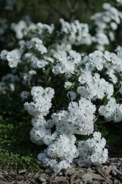 IMG_3238花菜ガーデン
