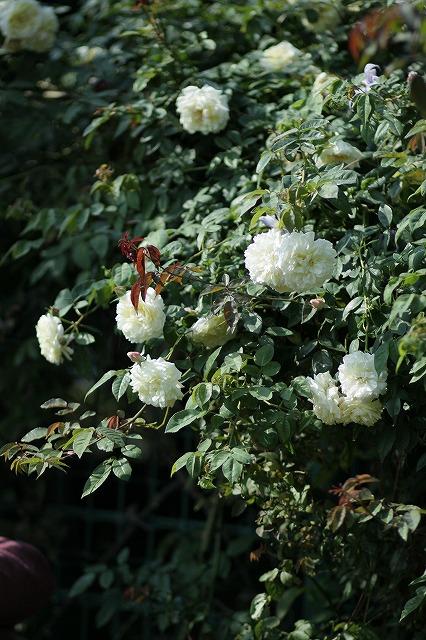 IMG_3247花菜ガーデン