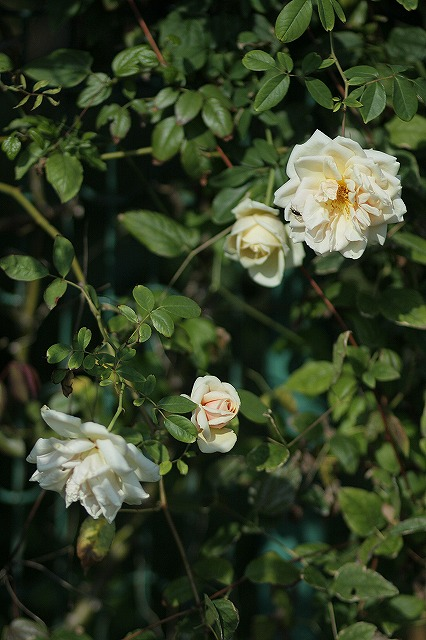 IMG_3251花菜ガーデン