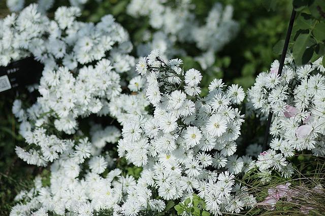 IMG_3256花菜ガーデン