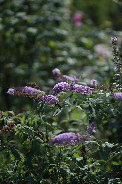 IMG_3263花菜ガーデン