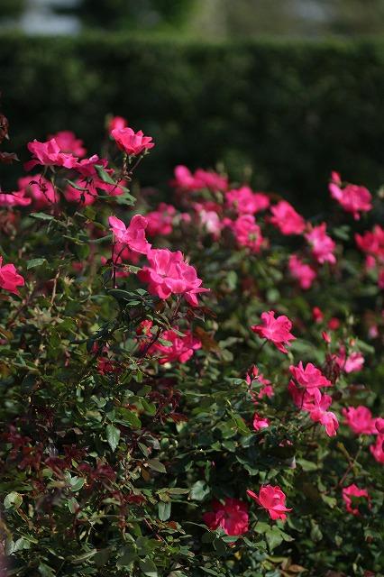 IMG_3266花菜ガーデン