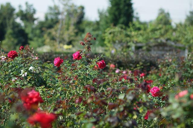 IMG_3280花菜ガーデン