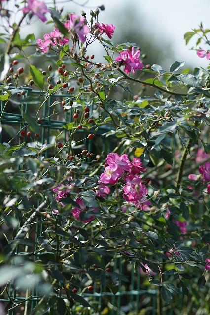 IMG_3283花菜ガーデン