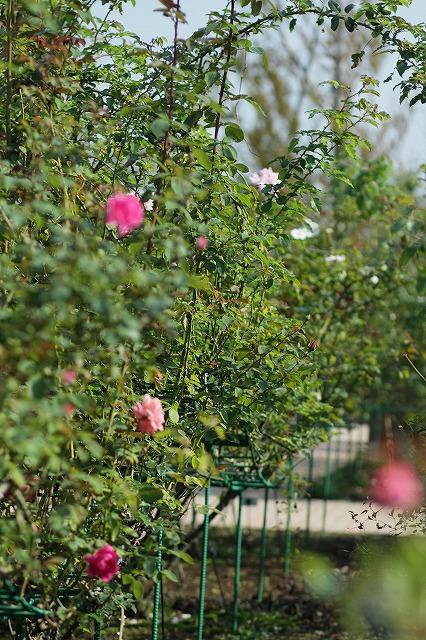 IMG_3289花菜ガーデン