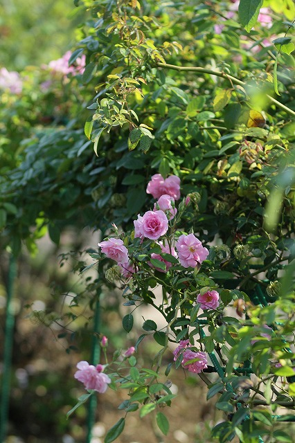 IMG_3292花菜ガーデン