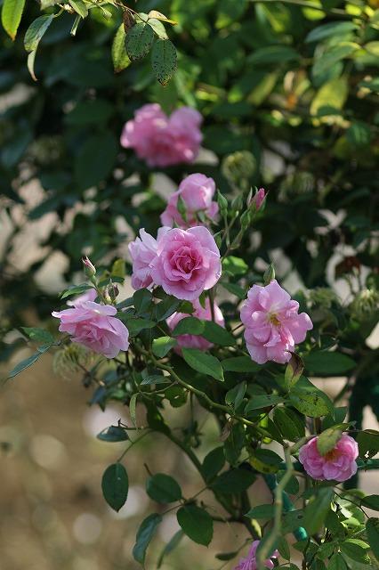 IMG_3293花菜ガーデン