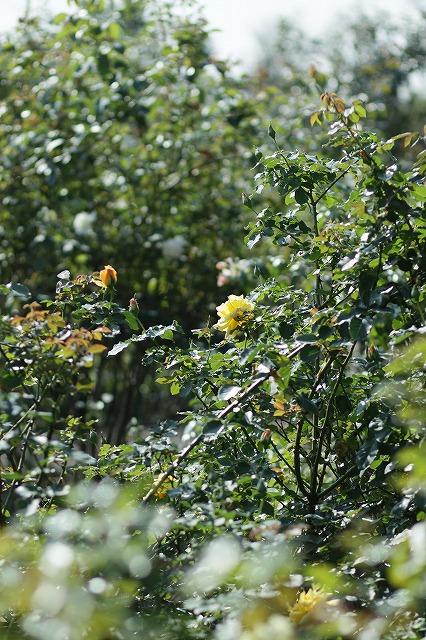 IMG_3300花菜ガーデン