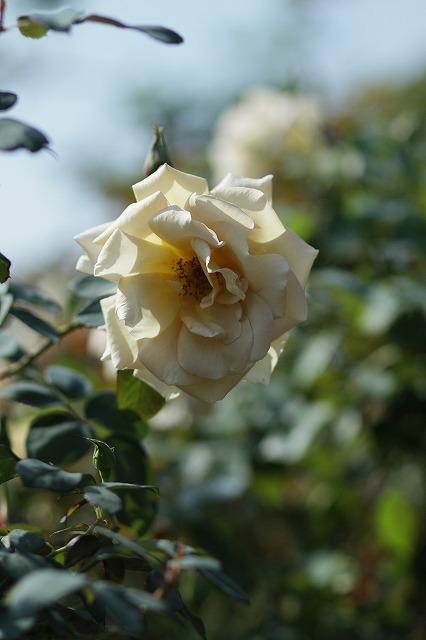 IMG_3304花菜ガーデン