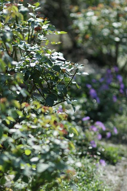IMG_3305花菜ガーデン
