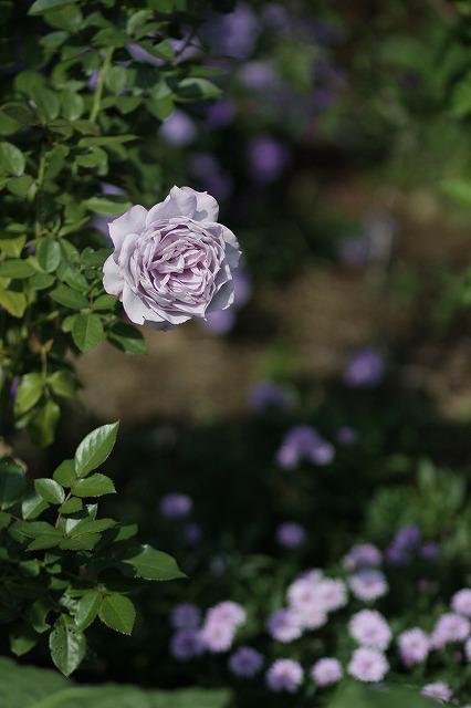 IMG_3324花菜ガーデン