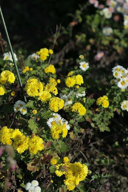 IMG_3454母の菊