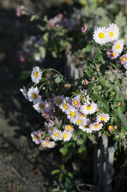 IMG_3456母の菊