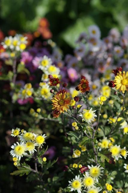 IMG_3459母の菊