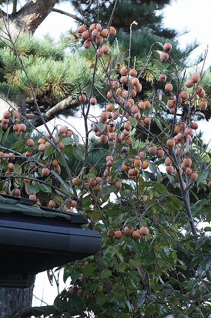 IMG_3470北庭の柿
