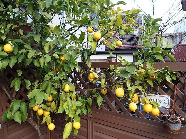 002レモン収穫