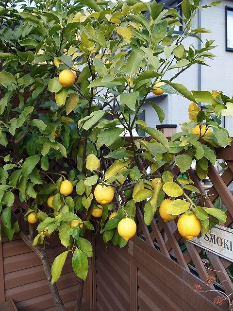 003レモン収穫