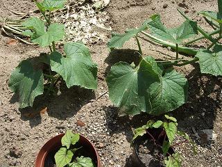 cucumber1.jpg