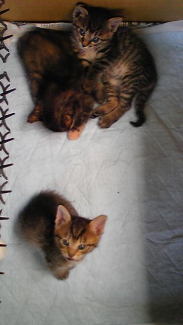 子猫3匹 茶コ下向き 左にトゲ幅350