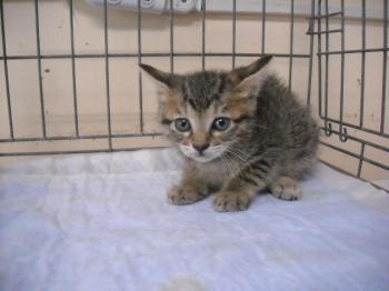 柏保健所 譲渡猫 20120810