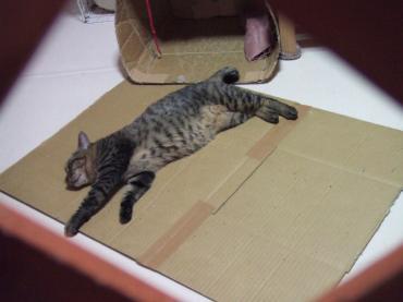 10-3034 チー猫部屋真ん中敷いたダンボールに伸び寝
