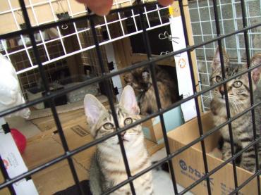 5-1041 子猫3匹外ケージ内、手前ミオ見上げる 幅350
