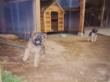 21-7709 田舎犬、くろちゃーん 幅350
