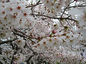 桜で空が見えない