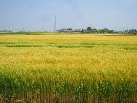 見渡す限り小麦畑
