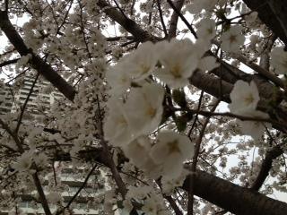 桜20130323‐1