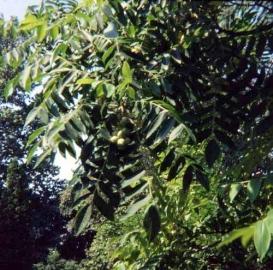 500px-Juglans_ailantifolia.jpg