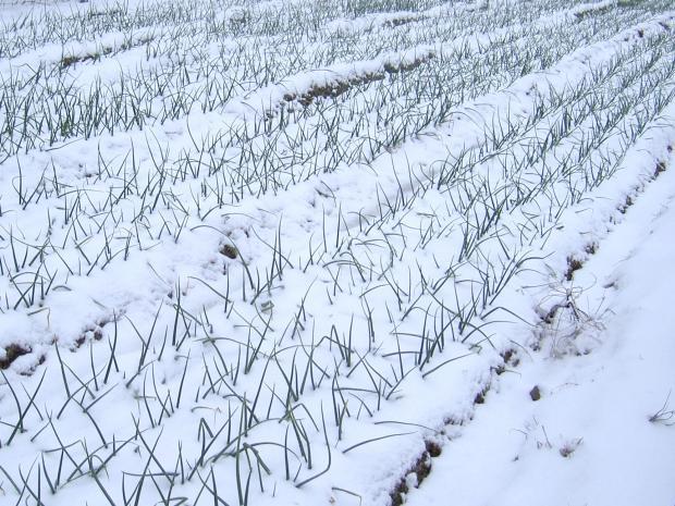 タマネギの苗が雪に埋まる