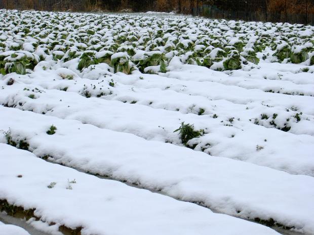 白菜も雪に埋まる