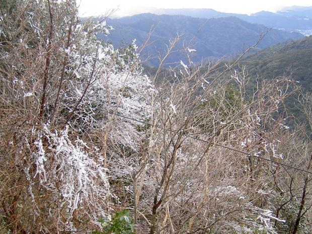 諭鶴羽山の山頂に樹の花が咲く