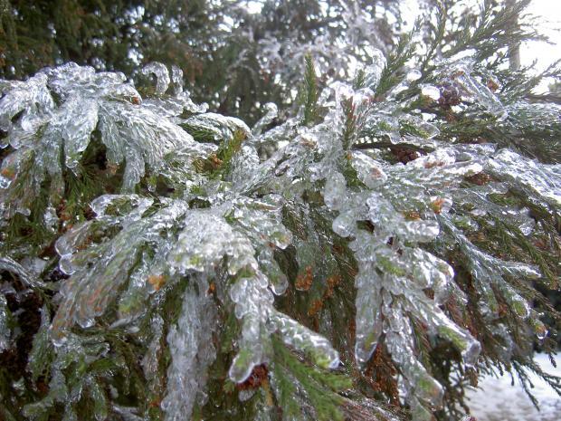 スギ(杉)の葉にも凍りつく