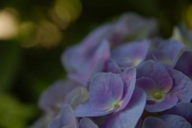 「写真で散歩」6月 宇都宮の紫陽花七変化アジサイ No.3 【青紫】