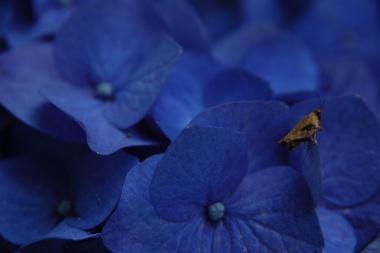「写真で散歩」ホンアジサイ【濃い青色】アジサイ七変化 No.6 宇都宮写真散歩