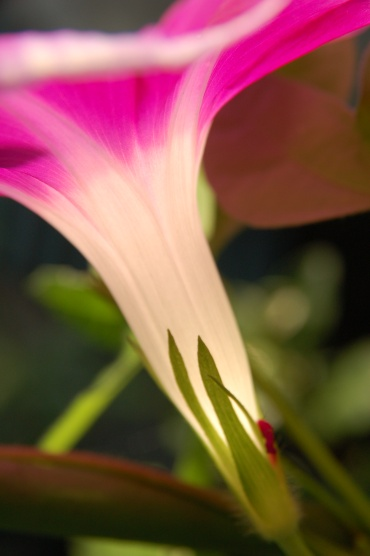 「写真で散歩」朝ぱっと咲く朝顔をこんな角度で見た。ラッキー!