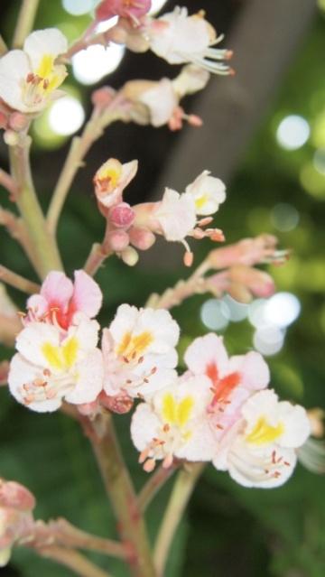 Blog「写真で散歩」マロニエの花クローズアップ