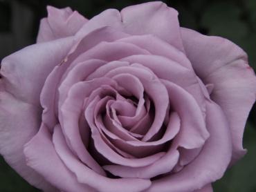 写真で散歩「薄紫色のバラ」フラッシュなし