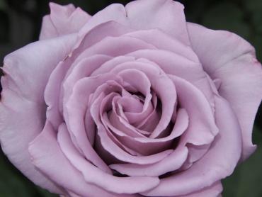 写真で散歩「薄紫色のバラ」フラッシュマニュアル設定1/4