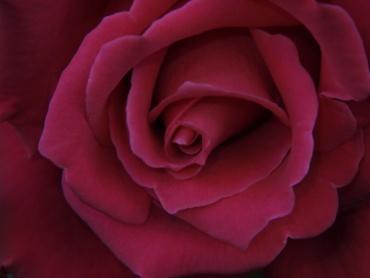 写真で散歩「バラ赤」フラッシュMF1/16 ISO400 F11 1/60 -0.3補正