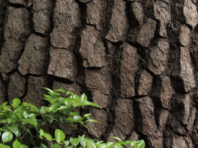 東京 畠山記念館 樹齢300年の赤松