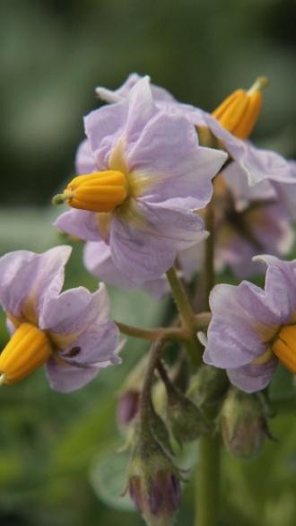「写真で散歩」宇都宮6月の風景ジャガイモの花