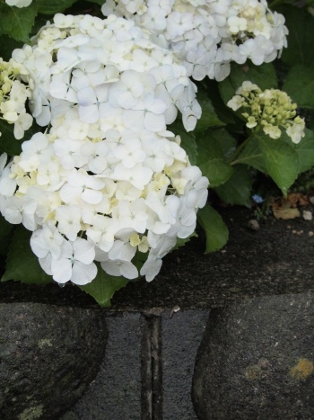 「写真で散歩」6月宇都宮のアジサイ 白