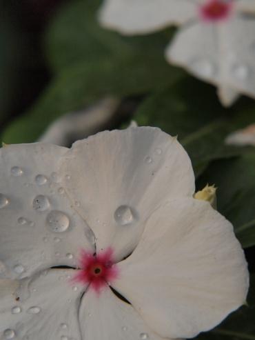 写真で散歩宇都宮「夏」早朝散歩写真 白い日々草